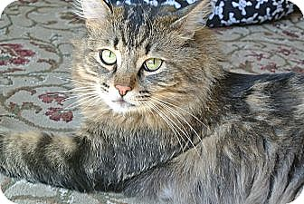 Norwegian Forest Cat Cat for adoption in Surrey, British Columbia - Huey