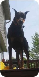 Doberman Pinscher Dog for adoption in Moon Township, Pennsylvania - Dexie
