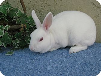 Mini Rex for adoption in Bonita, California - Magnolia