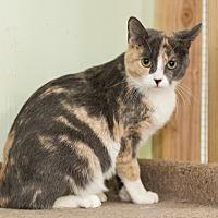 Calico Cat for adoption in Chicago, Illinois - Liz