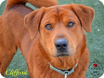 Chow Chow Mix Dog for adoption in Youngwood, Pennsylvania - Clifford