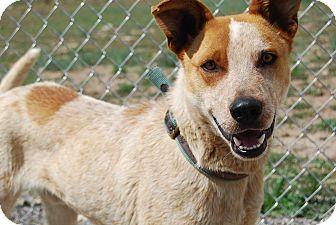 Shepherd (Unknown Type)/Australian Cattle Dog Mix Dog for adoption in Ridgway, Colorado - Louie