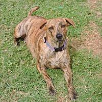Plott Hound Mix Dog for adoption in McKinney, Texas - Eleanor
