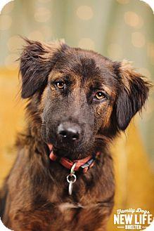 German Shepherd Dog/Golden Retriever Mix Puppy for adoption in Portland, Oregon - Florence