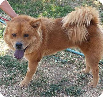 Chow Chow Dog for adoption in Orland, California - Kya