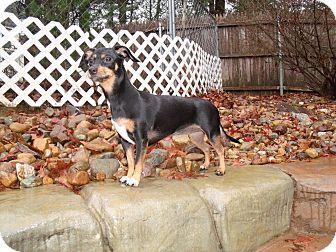 Dachshund/Italian Greyhound Mix Puppy for adoption in Worcester, Massachusetts - SoPhiE