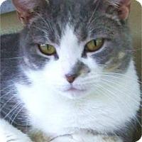 Domestic Shorthair Cat for adoption in Waupaca, Wisconsin - Yoga