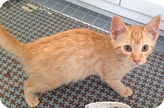 Domestic Shorthair Kitten for adoption in Richmond, Virginia - Clyde