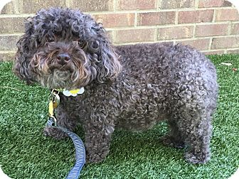 Poodle (Miniature) Mix Dog for adoption in Germantown, Tennessee - Hershey
