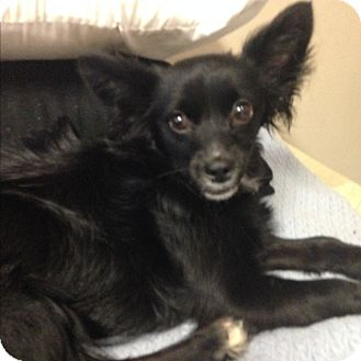 Papillon/Chihuahua Mix Dog for adoption in Port Charlotte, Florida - Eve