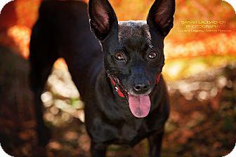 Chihuahua Mix Dog for adoption in Cincinnati, Ohio - Ziggy- WAIVED FEE