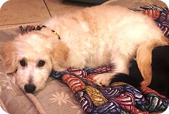 Labradoodle Puppy for adoption in Costa Mesa, California - Dylan