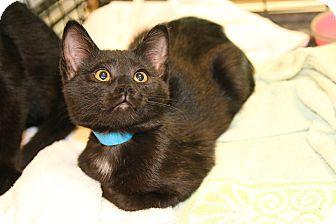 Domestic Shorthair Kitten for adoption in Rochester, Minnesota - Bachelor Button