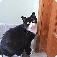 Domestic Shorthair Cat for adoption in Broadway, New Jersey - Cookiepuss