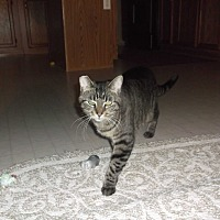 Domestic Shorthair Cat for adoption in grove city, Ohio - Soso