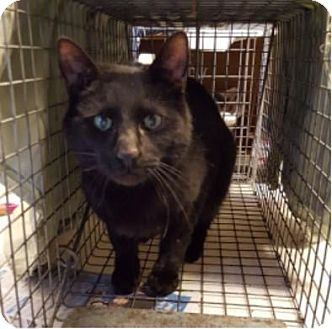 Domestic Shorthair Cat for adoption in Fishkill, New York - Iggy