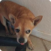Adopt A Pet :: Flinn - Las Cruces, NM