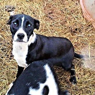 Labrador Retriever/Pit Bull Terrier Mix Dog for adoption in Princeton, New Jersey - Jazz