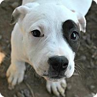 Adopt A Pet :: Jazzy - Sunnyvale, CA