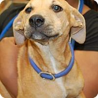 Adopt A Pet :: Ginger - Brooklyn, NY