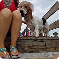 Adopt A Pet :: Millie - Orlando, FL