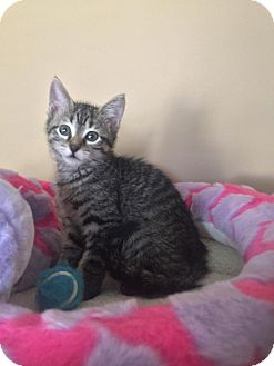 American Shorthair Kitten for adoption in Tega Cay, South Carolina - Zuri