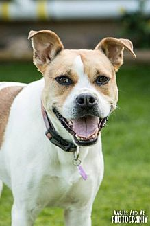 Terrier (Unknown Type, Medium)/Whippet Mix Dog for adoption in Lockport, New York - Ruger