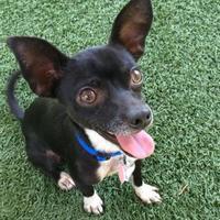 Chihuahua Mix Dog for adoption in Sacramento, California - Oreo