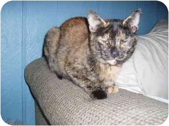 Domestic Shorthair Cat for adoption in Hamburg, New York - Mama Angie