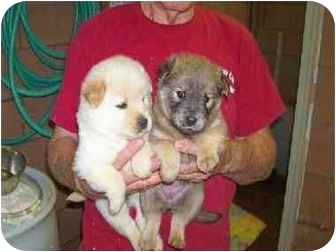 Samoyed/Chow Chow Mix Puppy for adoption in Baltimore, Maryland - Samoyed/Chow  Pups