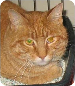 Domestic Shorthair Cat for adoption in Plainville, Massachusetts - Parker
