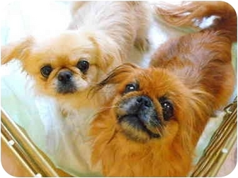 Pekingese Dog for adoption in Virginia Beach, Virginia - Ruby  Adopted !!!