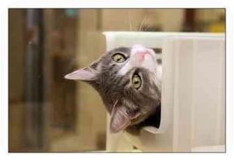 Domestic Shorthair Cat for adoption in North Charleston, South Carolina - Joey