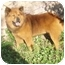Photo 2 - Chow Chow/Shepherd (Unknown Type) Mix Dog for adoption in Auburn, California - COBO