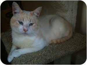 Siamese Cat for adoption in Sacramento, California - Omar