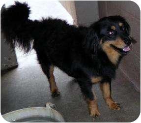 Cocker Spaniel/Pomeranian Mix Dog for adoption in Gaffney, South Carolina - Rugby-URGENT