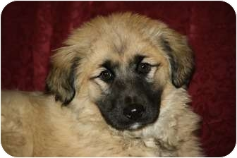 Golden Retriever/Keeshond Mix Puppy for adoption in West Milford, New Jersey - GIA- HOLD