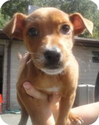 Terrier (Unknown Type, Small) Mix Puppy for adoption in Spruce Pine, North Carolina - Ava
