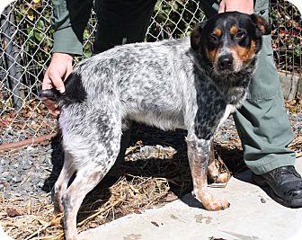 Australian Cattle Dog Dog for adoption in Crumpler, North Carolina - Gaucho