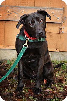 Labrador Retriever Mix Dog for adoption in Bellingham, Washington - Noodles