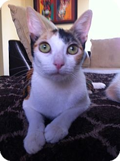 Calico Cat for adoption in Long Beach, California - COLORS