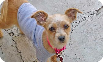 Yorkie, Yorkshire Terrier/Terrier (Unknown Type, Small) Mix Dog for adoption in Los Angeles, California - Kayla-VIDEO