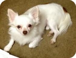 Chihuahua Mix Dog for adoption in Mesa, Arizona - Toby