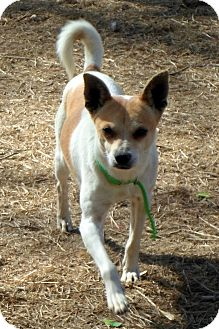 Chihuahua Dog for adoption in Wappingers, New York - Andy