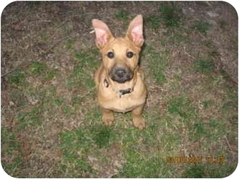 German Shepherd Dog Mix Puppy for adoption in Sterling Heights, Michigan - Wendy