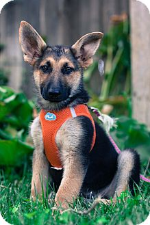German Shepherd Dog Mix Puppy for adoption in Auburn, California - Ava