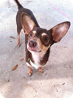 Chihuahua Mix Dog for adoption in Baton Rouge, Louisiana - Paco