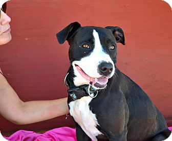 American Pit Bull Terrier/Pit Bull Terrier Mix Dog for adoption in Phoenix, Arizona - Day-Day- Courtesy Post