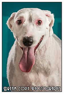 Old English Sheepdog Mix Dog for adoption in Owensboro, Kentucky - Kylie