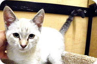 Siamese Kitten for adoption in Riverside, California - Meiko